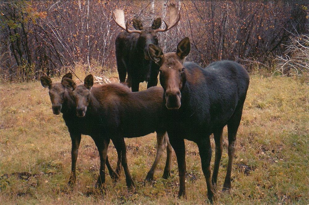 WR-moose-family.jpg